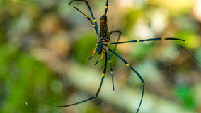 Nephila maculata on spider net, Gam Island, West Papuan, Raja Ampat, Indonesia Stock Photo