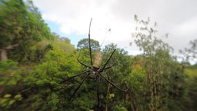 Nephila pilipes, big spider, Bali, Indonesia stock video footage
