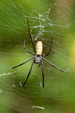 Nephila pilipes, big spider, Bali, Indonesia Stock Photos