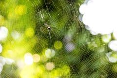 Nephila pilipes pająk Zdjęcie Stock