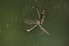 Nephila pilipes specie of golden orb-web spider ea Stock Photography