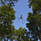 Nephila pilipes specie of golden orb-web spider Royalty Free Stock Photos