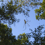 Nephila pilipes specie of golden orb-web spider Royalty Free Stock Photo
