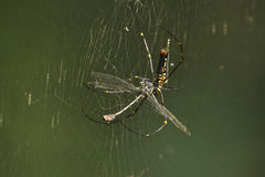 Nephila pilipesspecie av den guld- orb-rengöringsduk spindeln som äter en dragonf arkivbild