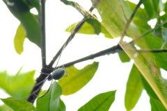 Nephila, tejedor de seda de oro del orbe Fotografía de archivo libre de regalías