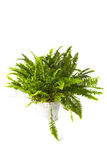 Nephrolepis Bostoniensis fern Stock Photos
