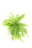 Nephrolepis fern Royalty Free Stock Image