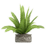 Nephrolepis fern houseplant. Nephrolepis fern potted up in a container as a decorative foliage houseplant isolated on white Royalty Free Stock Images