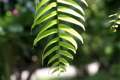 Nephrolepis sp leaves on sunny with nature background. stock photo