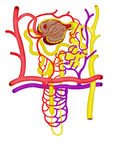 Nephron Royalty Free Stock Photos