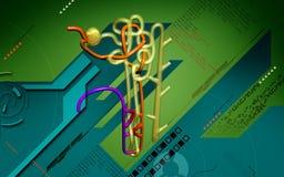 Nephron. Digital illustration of  nephron   in  colour background Stock Photos