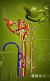 Nephron. Digital illustration of  nephron   in  colour background Stock Image