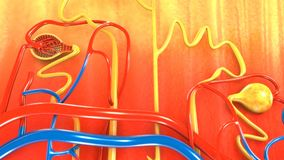 Nephron. The kidney is not one large filter. Each kidney is made up of about a million filtering units called nephrons. Each nephron filters a small amount of Stock Photo