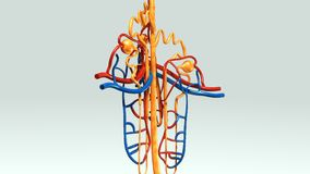Nephron Royalty Free Stock Photography