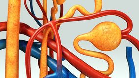 Nephron Stock Photo