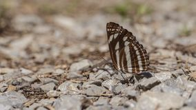 Neptis sappho butterfly Stock Images