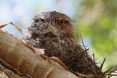 Neptune. A male Tawny Frogmouth sits protectively behind a new chick on the nest Stock Image