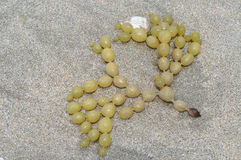 Neptune's necklace on sand Royalty Free Stock Image