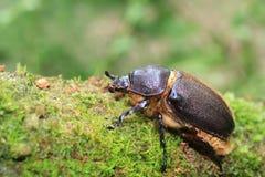 Neptunus beetle royalty free stock photo