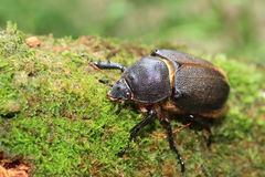 Neptunus beetle royalty free stock image
