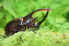 Neptunus beetle Royalty Free Stock Images