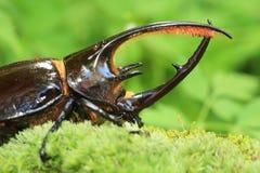 Neptunus beetle stock photo