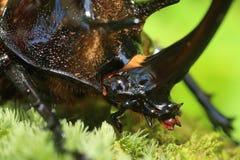 Neptunus beetle Royalty Free Stock Photography