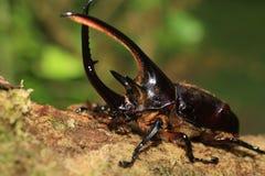 Neptunus beetle Royalty Free Stock Photos