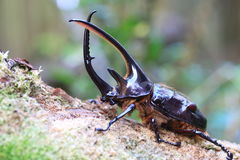 Neptunus beetle Stock Photography