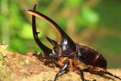 Neptunus beetle Stock Images