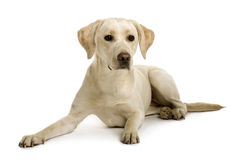 ner främre labrador liggande sikt Royaltyfri Foto