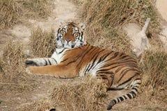 ner liggande tiger Royaltyfri Foto