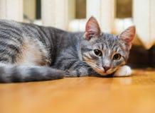 Ner ligger den inhemska lata kort-haired unga med polisonger katten Arkivfoton