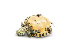 ner sköldpaddaöversida royaltyfria foton