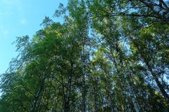 Ner upp sikt på högväxta gröna träd på bakgrund för blå himmel Härliga naturbakgrunder Fotografering för Bildbyråer