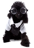 Nerd Dog Royalty Free Stock Photo