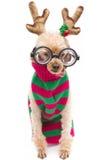 Nerdy Reindeer Stock Image