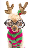 Nerdy Reindeer Portrait Royalty Free Stock Images