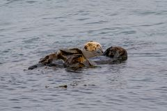 Nereis di enhydra lutris della lontra di mare di California immagine stock
