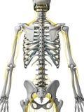 Nerfs et squelette Photographie stock libre de droits