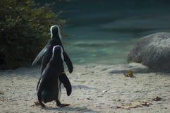 Neri de piedi de Dai de pinguino de l'africano o de pinguino de Pinguino del Capo o | Demersus de Spheniscus Photographie stock libre de droits