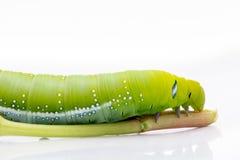 Nerii του Caterpillar Daphnis σκώρων γερακιών Oleander, Sphingidae στοκ εικόνα με δικαίωμα ελεύθερης χρήσης