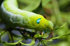 Nerii Caterpillar di Daphnis Fotografie Stock