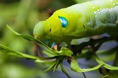 Nerii Caterpillar di Daphnis Immagine Stock Libera da Diritti