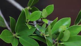 Nerii Daphnis καμπιών Oleander χρονικού σφάλματος hawkmoth, Sphingidae που σέρνεται στον κλάδο του δέντρου απόθεμα βίντεο