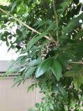 Nerii Daphnis или сумеречница хоука олеандра или сумеречница армии зеленая стоковые фото