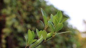 Nerii de Daphnis de la oruga del hawkmoth del adelfa del lapso de tiempo, Sphingidae que se arrastra en la rama del árbol almacen de video