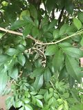 Nerii de Daphnis ou a traça de falcão do oleandro ou traça verde do exército Fotos de Stock