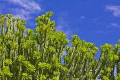 Neriifolia L. (ligularia Roxb del euforbio del E.) Árbol del mezcal Foto de archivo