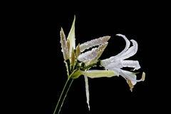 Nerine bowdenii Royalty Free Stock Image
